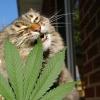 En Colorado cada vez más mascotas son tratadas con mariguana