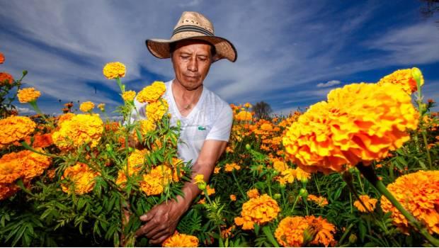 Lo Que No Sabías De La Bellísima Flor De Cempasúchitl